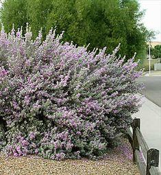 Texas sage (leucophyllum laevigatum) 6x6 full sun #shrub. Evergreen. Extremely drought tolerant, flowers in humidity. Hedge