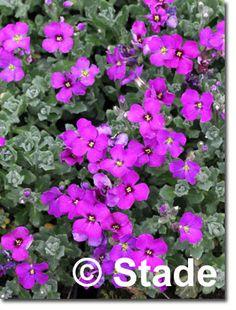 Staudenfoto zu Aubrieta cultorum 'Drayton' (Garten-Blaukissen)