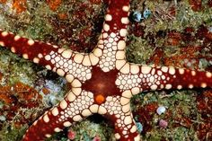pic ocean  star fish | life of sea starfish asteroidea starfish or sea stars are echinoderms ...