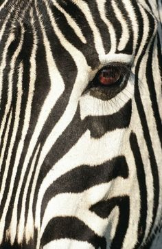 Heinrich van den Berg art and photography prints for interior decoration Black And White People, Black And White Love, Black And White Prints, Black And White Painting, Morning Photography, Face Photography, Zebra Face, Tier Fotos, Animal Faces