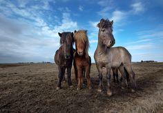 Icelandic Horses by Keren Segev, via 500px