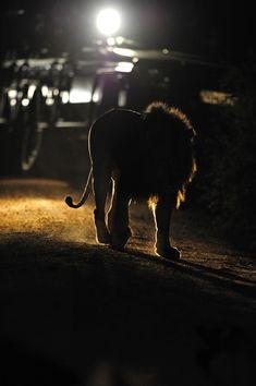 Lion walking in Sabi Sands Lion Images, Night Photography, Wildlife Photography, Kruger National Park, National Parks, Milky Way Images, Lion Walking