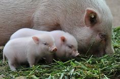 When mini-pigs reproduce, they have mini mini-pigs. These two were recently born at the zoo in Hanover, Germany.