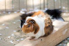 Guinea Pig ふれあい動物園のモルモット pettingzoo guineapig zoo ふれあい動物園 動物園 モルモット