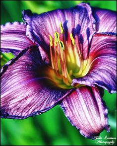 Would make a pretty tattoo! Purple Day Lily!