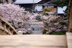 京都宇治川の橘橋と桜