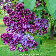 The purple lilacs are one of Maine's most looked forward to spring blossom. If only the internet let you smell these! Amazing!
