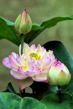 buddhabe:蓮花