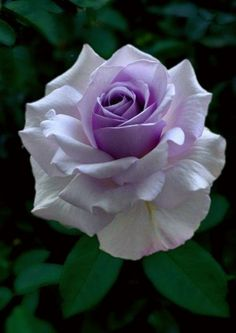 70 Ideas Flowers Beautiful Rose Floral For 2020 Beautiful Rose Flowers, Rare Flowers, Exotic Flowers, Amazing Flowers, Exotic Plants, Lavender Roses, Purple Roses, Rosa Rose, Flower Wallpaper