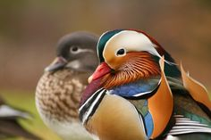 New guests in the park by Paula  Mozdrzewska, via 500px. Pair of Mandarin Ducks.