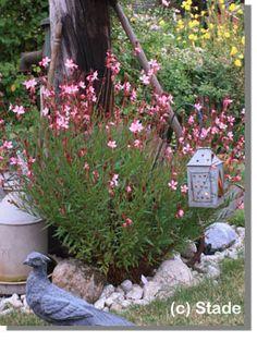Gaura Sunset Dream,'Gaura lindheimer...echte superplant...bloeit de ganse zomer lang met frele zachtroze bloemstengeltjes waar precies geen einde aan komt...bestaat ook in wit