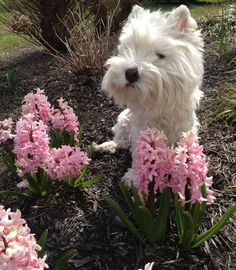 Another cute one today with the hyacinth.  #westie #westies