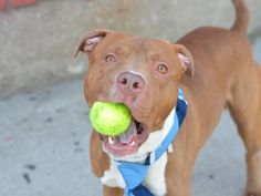 SAFE 4-30-2015 by SNARR Northeast --- Brooklyn Center  BERT – A1032311  MALE, BROWN / WHITE, AM PIT BULL TER MIX, 2 yrs STRAY – EVALUATE, NO HOLD Reason STRAY Intake condition EXAM REQ Intake Date 04/06/2015
