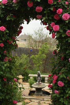Zéphirine Drouhin, climbing rose, thornless.