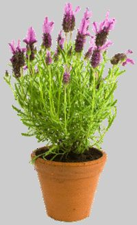 free images of lavender flowers - Google Search