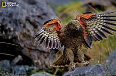 New Zealand's alpine parrot, a feisty, inquisitive bird known by its Maori name, kea, has joined New Zealand's long list of species threatened by introduced predators. Wildlife Nature, Nature Animals, New Zealand Art, Interesting Animals, Bird Wings, Rare Birds, Parrot Bird, Cockatoo, Birds Of Prey