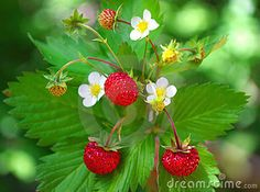 Wild Strawberry (Fragaria vesca)