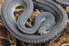 Xenodermus Javanicus - Dragon Snake - CaptiveBred Reptile Forums