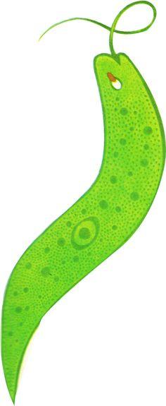Euglena has a single whip-like flagellum.