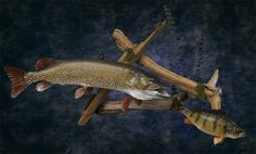 northern pike and perch taxidermy | Northern and Perch Scene