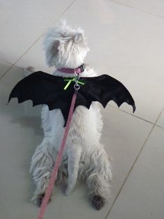 West Highland White Terrier - Westie - my goodness but this looks very much like our ole Tootsie - every Halloween, we all dressed in costumes and out came the bat wings and she loved them... When Christmas came around, she always knew which wrapped presents were hers but yet never opened one until we all opened our presents, then look out... such smart dogs...