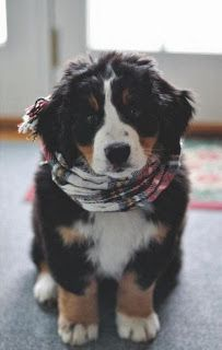 Bernese Mountain Pup | LOVE!