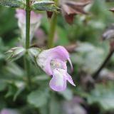 Salvia taraxacifolia. Très belle espèce aux feuilles grises découpées et persistantes. Belles fleurs roses étonnamment grande pour une si petite plantes de terrain sec. Pour sol très drainé, sinon la plante survit mal à l'humidité hivernale.     Origine : Maroc (Haut Atlas).