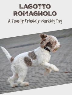 Lagotto Romagnolo Roope in 2020 (mit Bildern) Hunde