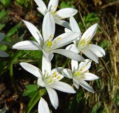 The Star of Bethlehem Flower or Ornithogalum umbellatum