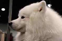 Samoyed. Beautiful dog!
