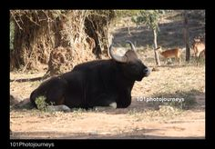 Indian Gaur ( Bison) Bannerghatta National Park