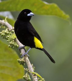 Lemon-rumped Tanager (Ramphocelus flammigerus icteronotus), tropical America. It is considered a subspecies of the Flame-rumped Tanager.