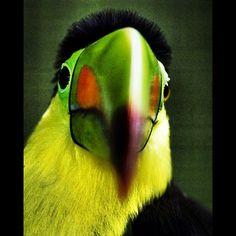 Desde Panamá, el zoológico de Cumbre comparte una imagen de un colorido tucán.  Foto: AP