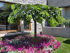 early July view of well-maintained young Camperdown Elm on the grounds of the University of Toronto Bonsai Garden, Garden Trees, Trees To Plant, Elm Tree, Tree Seeds, Tree Shapes, Deciduous Trees, Dundee, Front Yard Landscaping
