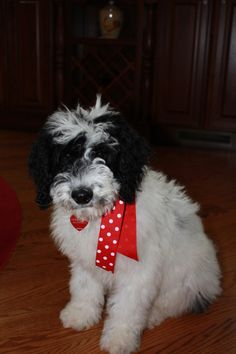 Black And White Parti Goldendoodles Goldendoodles F1b
