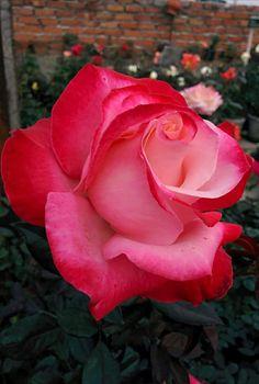 409 Mejores Imágenes De Flores Rosas Rojas Red Roses Beautiful