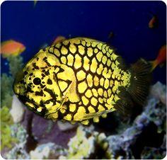 Pineconefish - Monocentris japonicus