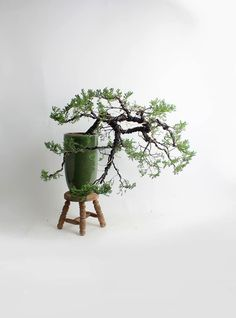 "Mature Juniper procumbens nana bonsai tree ""Spring'17 Conifer collection"" from LiveBonsaiTree by LiveBonsaiTree on Etsy"