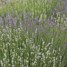 Lavender - Munstead-Type