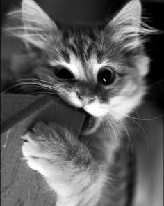 5 Simple Tips to Stop Your Kitten Biting Don't let biting behavior become a bad habit. 5 Simple Tips to Stop Your Kitten Biting. kitten biting stop. Cute Baby Cats, Cute Little Animals, Cute Cats And Kittens, Cute Funny Animals, Kittens Cutest, Funny Cats, Cats Humor, Funny Horses, Pretty Cats