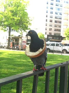 """Bagel pigeon. Taken by Connie Rubirosa who said it was the """"most New York photo"""" she had ever took. Of course! What's more New York than pigeons and bagels?"""