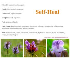 Let's look at the many ways the self heal herb has been used by herbalists and the findings of scientists.