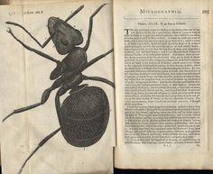 Resultado de imagen para robert hooke micrographia