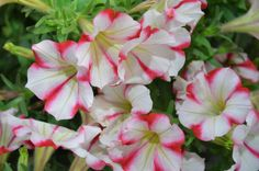 """Crazytunia Cherry Cheesecake is another new introduction for 2013.  It's a multiflora petunia with 2"""" blooms that will stop traffic.  It has a mounding growth habit, making it ideal for compact hanging baskets, window boxes and combination planters.  (annual)"""