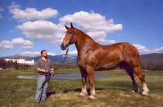 Zeus is a 7 year old Belgian and he stands 20 hands tall and weighs 2,950 pounds. He is one of the largest horses in the world.