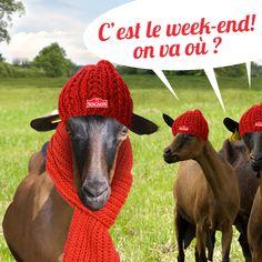 Bon week-end ! #chevre #Soignon #goat #fun
