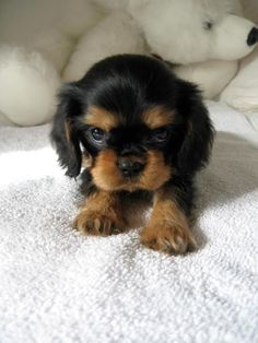 Cavalier King Charles Spaniel serioiusly? does it get any cuter than that? love