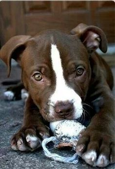 Pitbull puppy... So beautiful, look at the size of his paws?