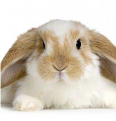 Les maladies dentaires chez les lapins et rongeurs.