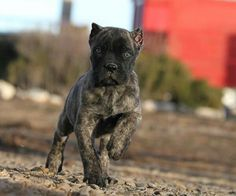 About Time Cane Corso Italiano